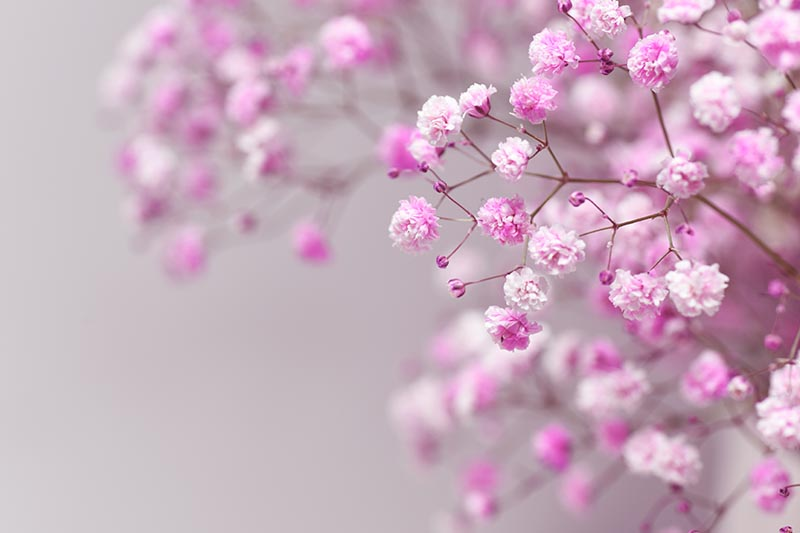 A close up horizontal image of pink Gypsophila paniculata growing in the garden on a soft focus background.