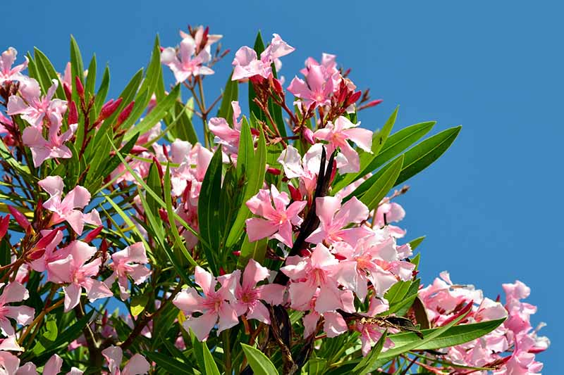 A close up horizontal image of pink Nerium flowers pictured in bright sunshine on a blue sky background.