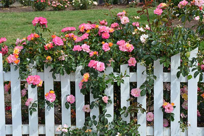 A horizontal image of a white picket fence covered in bright pink flowers of a climbing rose, with a garden scene in the background.