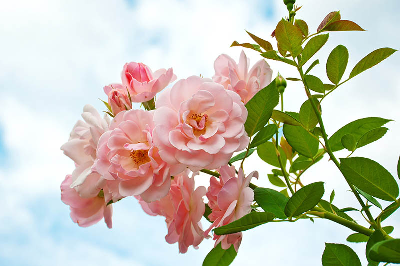 A close up horizontal image of light pink flowers on a blue sky background.