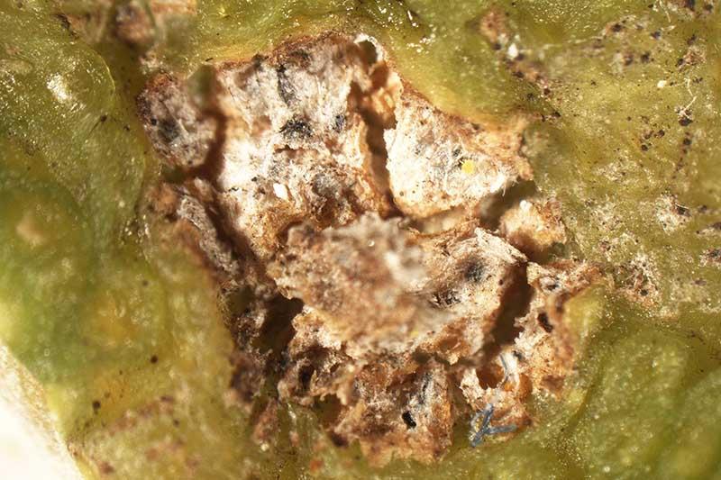 A close up horizontal image of Pleosporum herbarum fungal spores visible on plant tissue.
