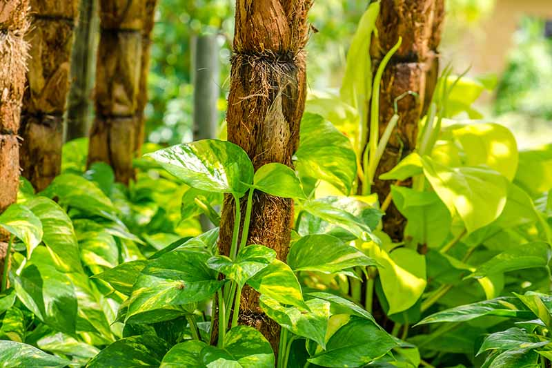 "A close up horizontal image of potted Epipremnum aureum plants growing up ""totems"" pictured on a soft focus background."