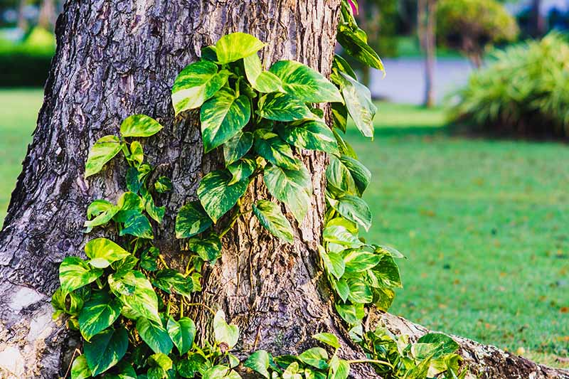 A close up horizontal image of the variegated foliage of Epipremnum aureum climbing up a tree in a tropical garden, pictured with a lawn and street in soft focus in the background.