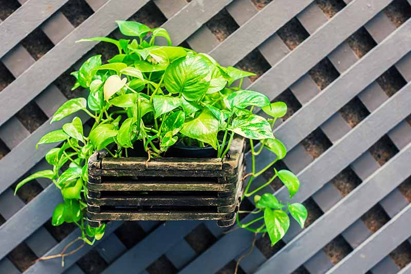 A close up horizontal image of a small outdoor window box container with a vining, variegated pothos plant spilling over the sides, with a wooden fence in the background.