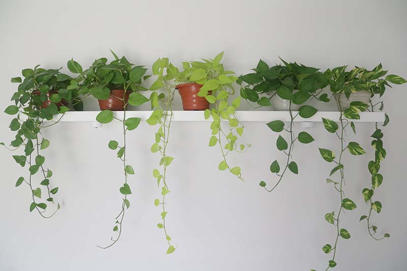 A horizontal image of a shelf with five different vining pothos plants spilling over the edge on a white wall.