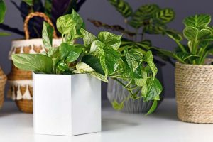 It's Easy to Be Green When You Grow Pothos Houseplants