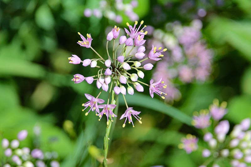 A close up horizontal image of a pinkish-purple prairie onion flower growing in the garden pictured in light sunshine on a soft focus background.