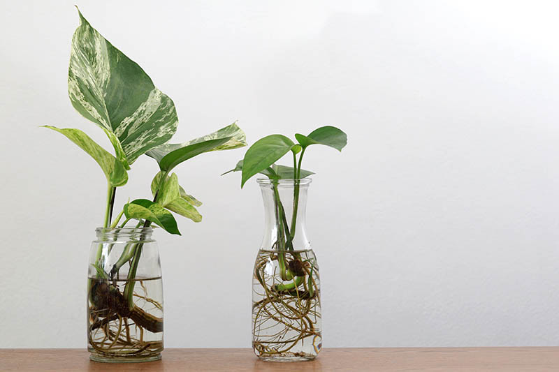 A close up horizontal image of two glass jars with vining pothos plants growing in water, set on a wooden surface pictured on a white background.