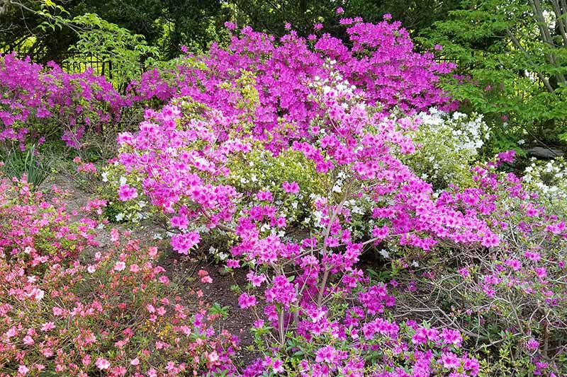 A close up horizontal image of a large swath of flowering azaleas growing in the garden in a part shade location.