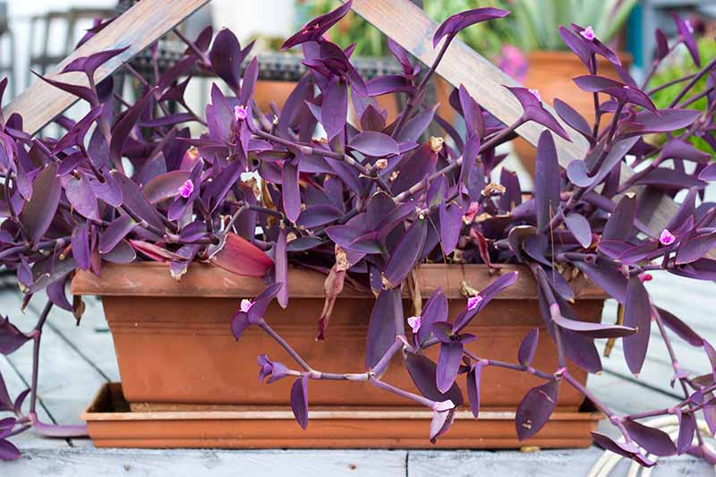 A close up horizontal image of a small terra cotta planter with the purple foliage of spiderwort spilling over the edge, pictured on a soft focus background.