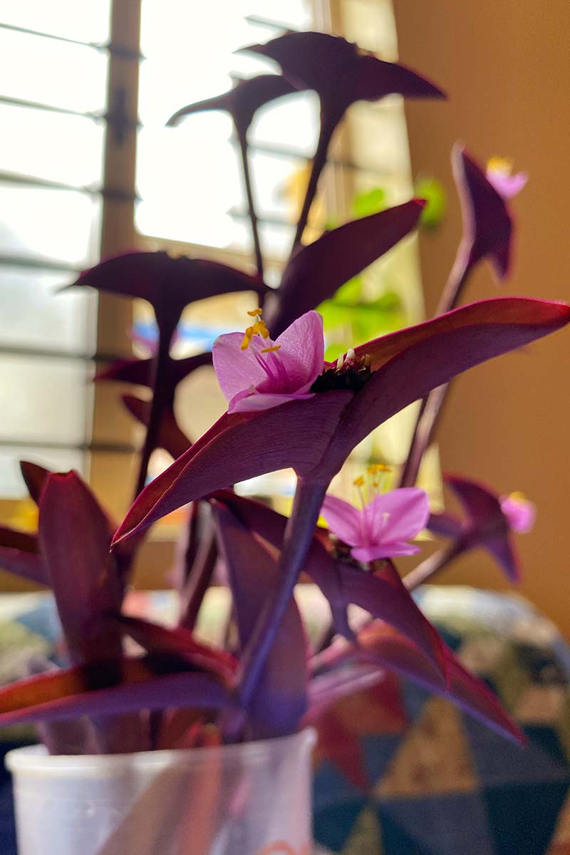 A close up vertical image of the small pink flowers of Tradescantia pallida growing in a small pot on a windowsill pictured on a soft focus background.