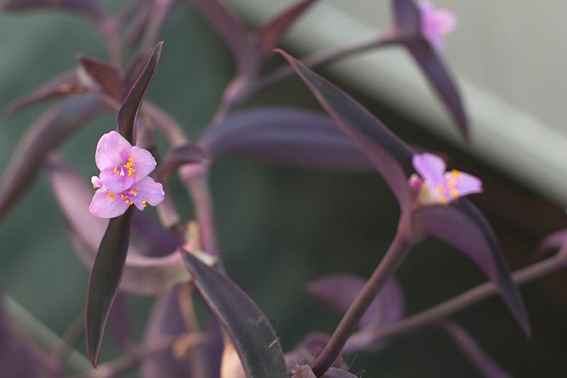 A close up horizontal image of the tiny pink flowers of 'Purple Heart' inch plant growing indoors pictured on a soft focus background.