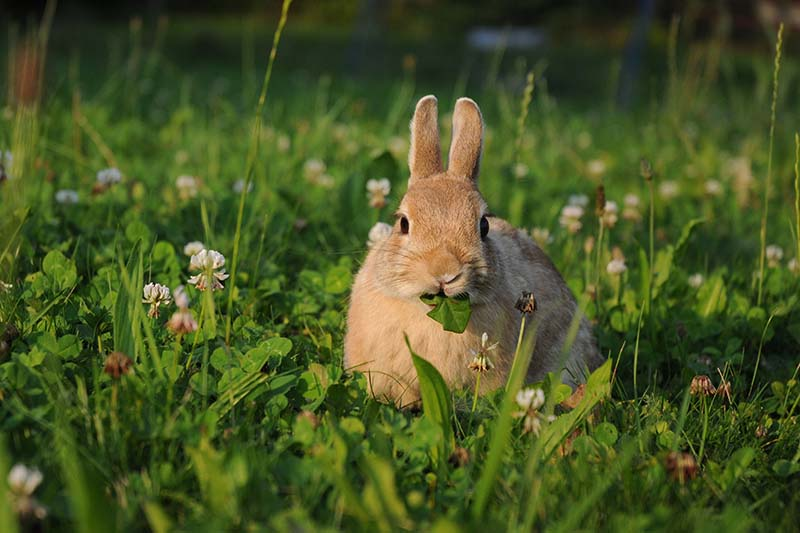 A close up horizontal image of a rabbit eating dandelion leaves on a garden lawn pictured in light sunshine.