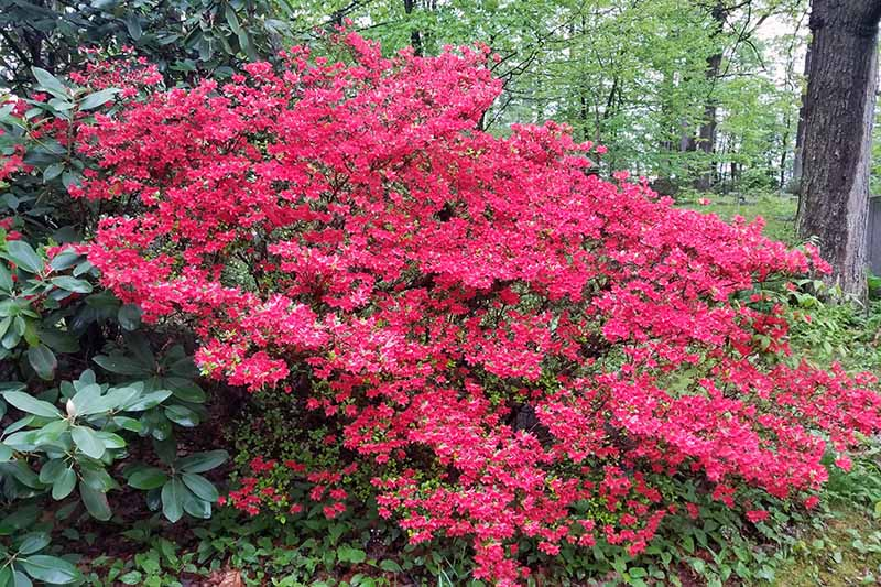A close up horizontal image of a large red azalea shrub in full bloom in a shady location with trees in soft focus in the background.