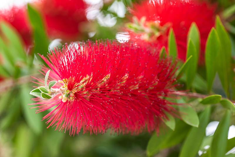 A close up horizontal image of a bright red Callistemon flower growing in the garden with foliage in soft focus in the background.