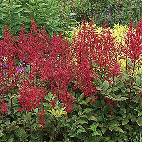 A close up square image of the bright red flowers of A. x japonica 'Red Sentinel' growing in a perennial border.