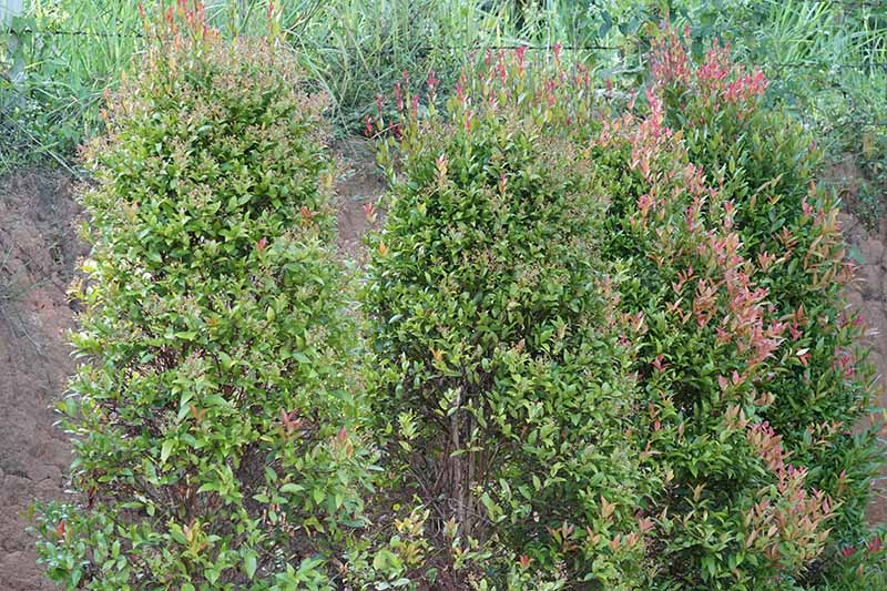 A close up horizontal image of ornamental shrubs growing up a bank in the garden.