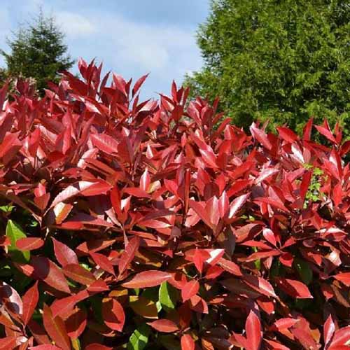 A close up square image of Photinia x fraseri growing in the garden pictured in bright sunshine with blue sky and trees in the background.