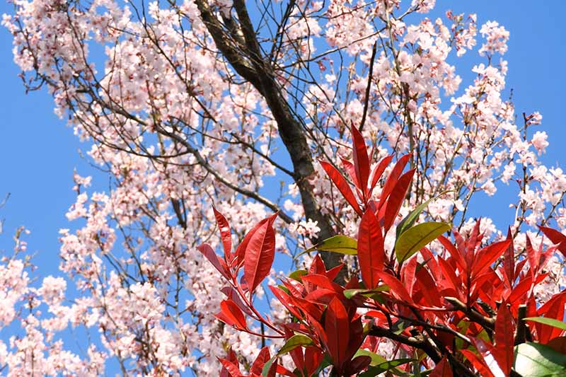 A horizontal image of cherry blossom against a blue sky background with red tip photinia in the foreground.