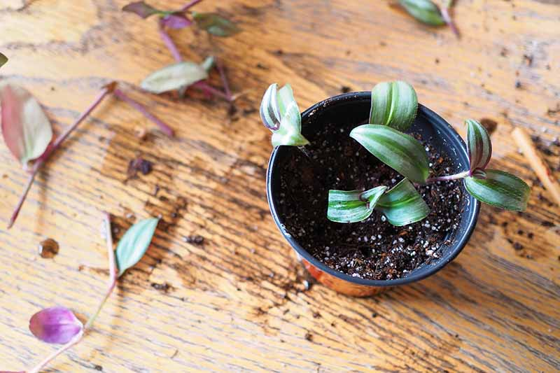 A close up horizontal image of a small pot with rooted cuttings set on a wooden surface.
