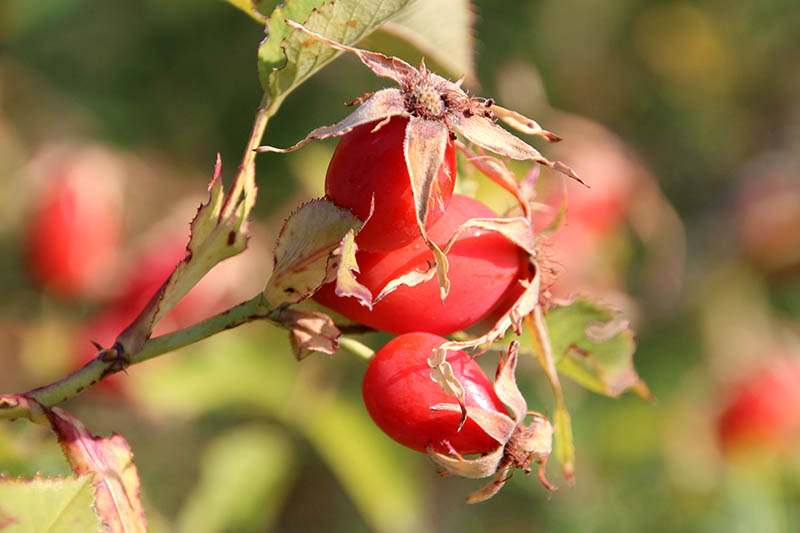 A close up horizontal image of rose hips developing in the autumn, pictured in light sunshine on a soft focus background.