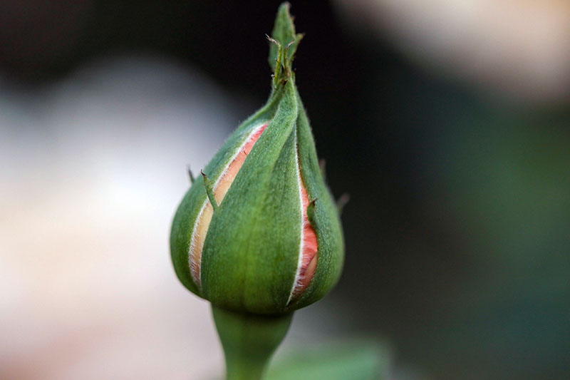 A close up horizontal image of an unopened flower bud pictured on a soft focus background.