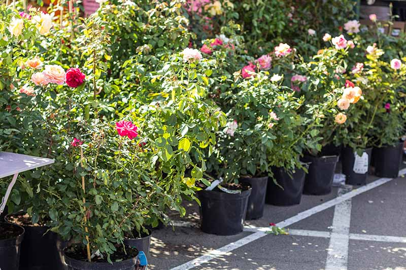 A close up horizontal image of rows of potted flowering shrubs at a garden center.