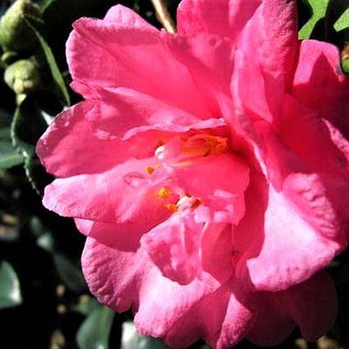 A close up square image of a vibrant pink flower growing in the garden pictured in bright sunshine.