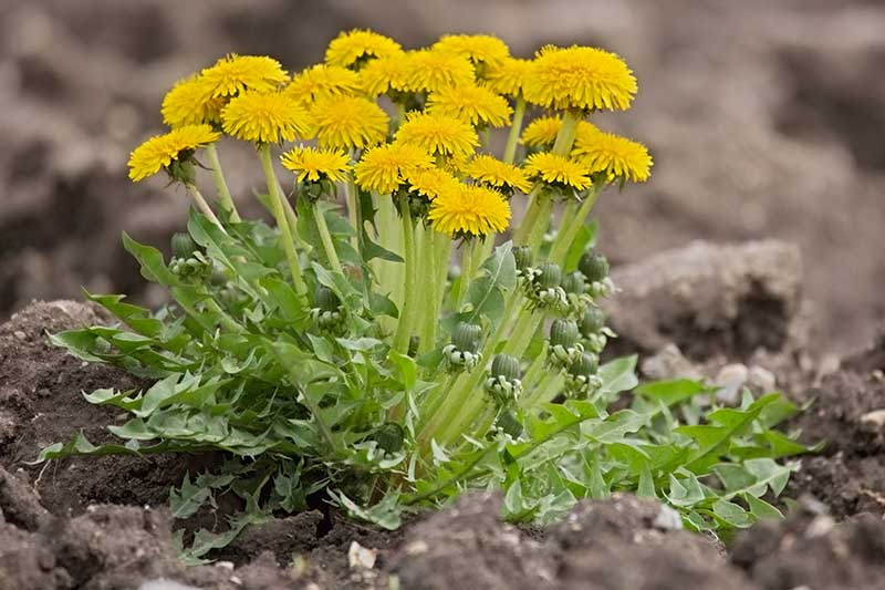 A close up horizontal image of a small clump of Taraxacum officinale flowers growing in rich soil in the garden pictured on a soft focus background.