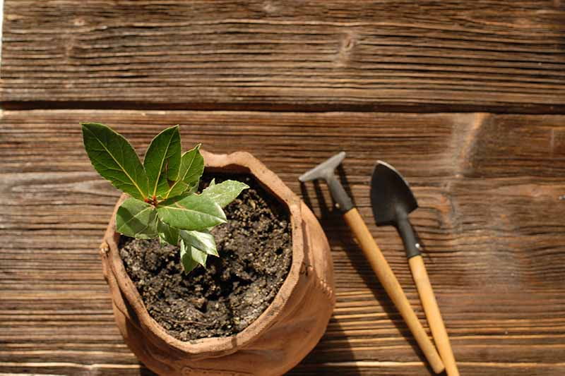 A horizontal image of a small plant cutting in a ceramic pot set on a wooden surface with tools to the right of the frame.