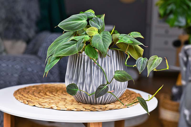 A close up horizontal image of a small houseplant growing in a small ceramic pot set on a wicker tablemat on a white surface.