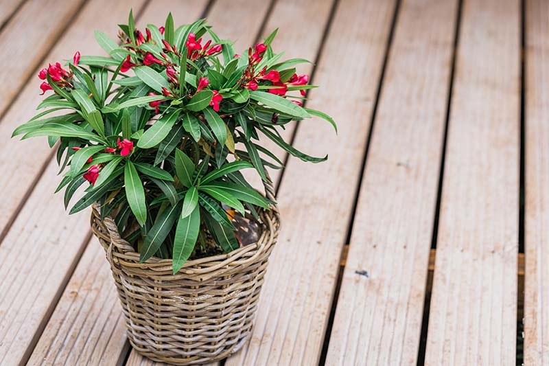 A close up horizontal image of a flowering shrub in a wicker decorative pot set on a wooden deck.