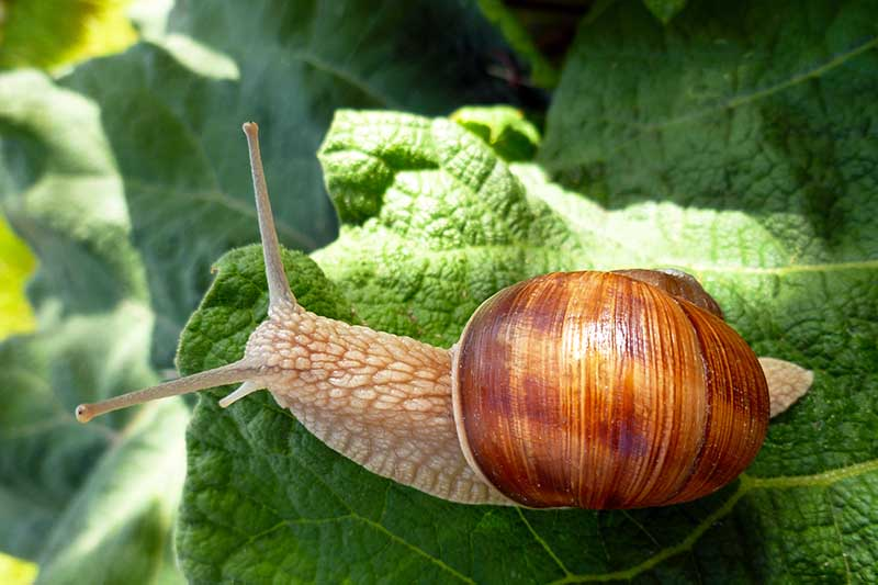 A close up horizontal image of a snail on a leaf pictured in light filtered sunshine.