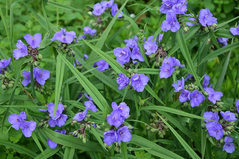 A close up horizontal image of masses of small blue flowers growing in the garden.