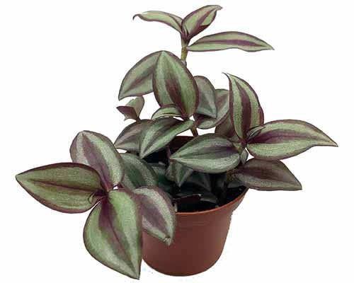 A close up square image of Tradescantia 'Sterling Silver' in a small pot pictured on a white background.