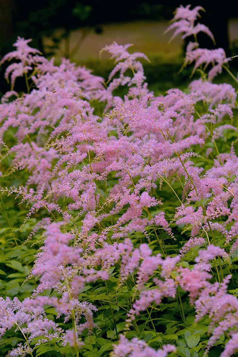 A close up vertical image of the wispy pink flowers of A. thunbergii 'Straussenfeder' growing in the garden pictured on a soft focus background.