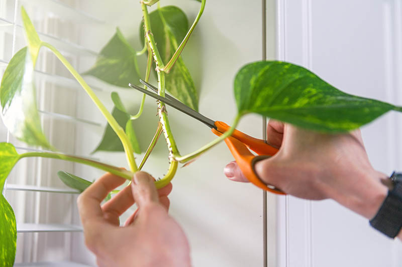 A horizontal image of two hands, one with a pair of scissors taking a stem cutting of a Epipremnum aureum houseplant pictured with a window in the background.