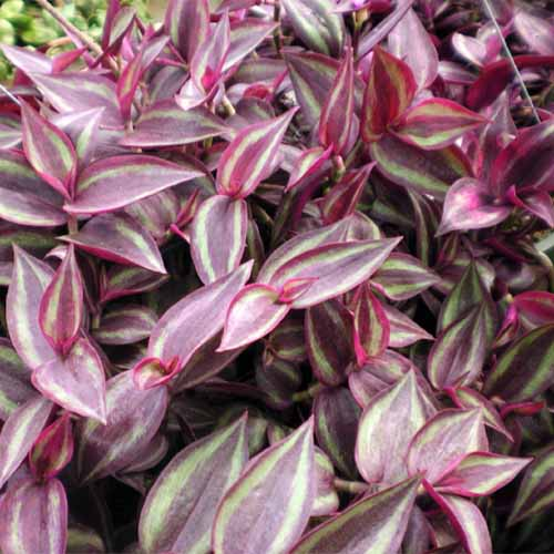 A close up square image of the purple and green variegated foliage of Tradescantia 'Burgundy' growing in the garden.