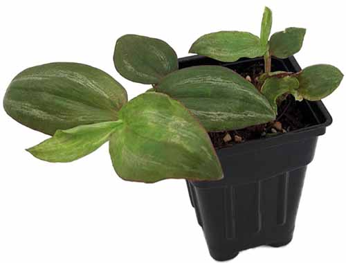 A horizontal image of Tradescantia 'Green Ghost' growing in a small nursery pot pictured on a white background.