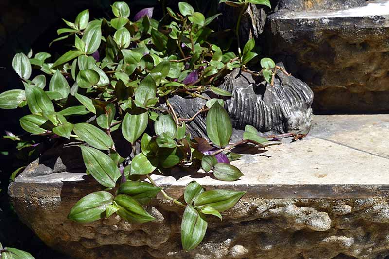 A close up horizontal image of an invasive spiderwort plant growing outdoors over some stone steps.