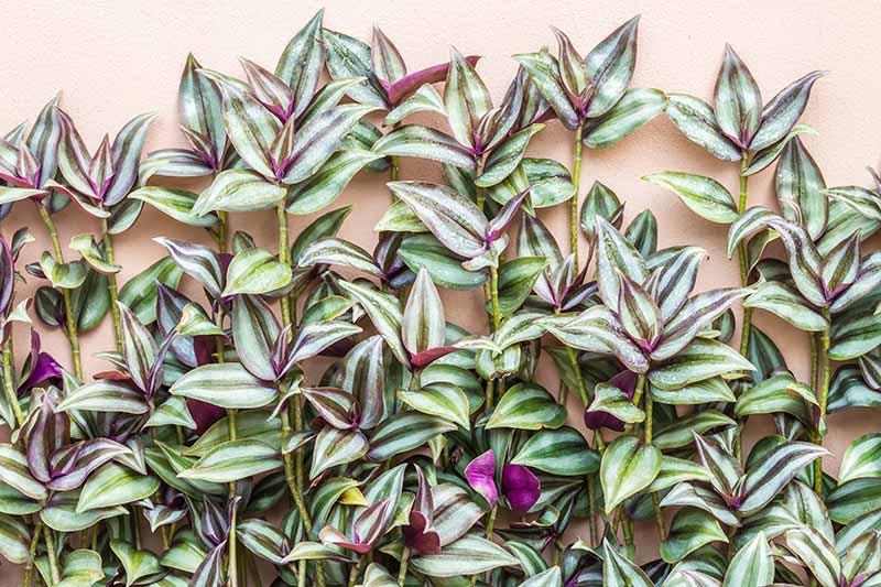 A close up horizontal image of Tradescantia zebrina growing up a salmon-pink wall.