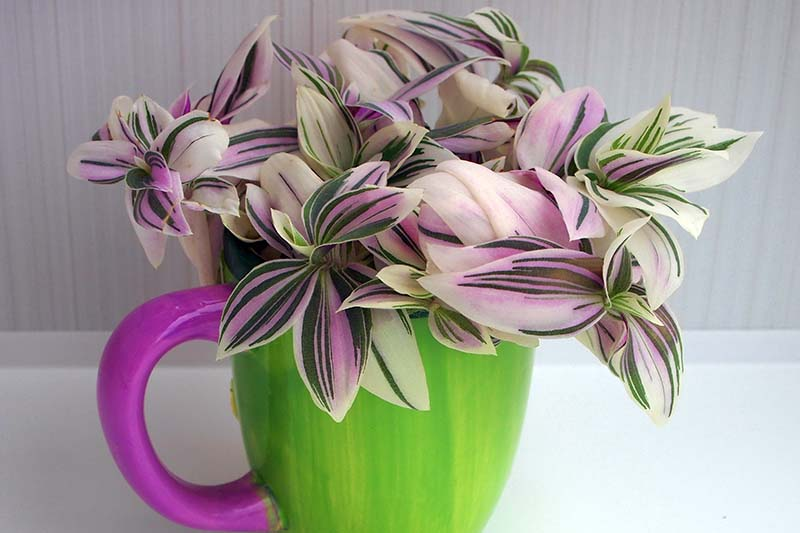 A close up horizontal image of a pink, cream, and white spiderwort plant growing in a green and pink cup pictured on a light gray background.