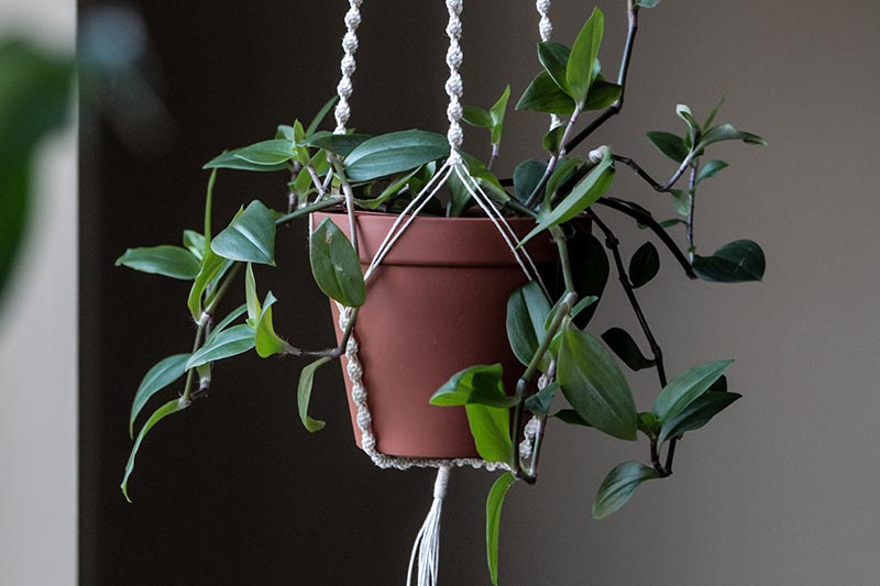 A close up horizontal image of a macrame plant hanger with a small terra cotta pot growing spiderwort indoors, pictured on a soft focus background.