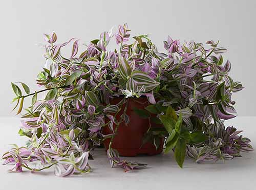 A close up horizontal image of Tradescantia 'Tricolor' spilling over the sides of a terra cotta pot pictured on a gray background.