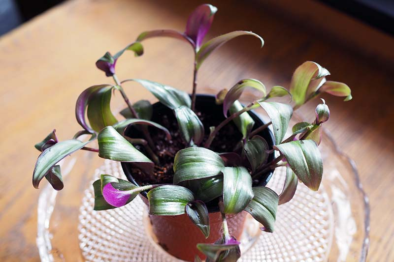 A close up horizontal image of a small spiderwort plant in a pot on a wooden table.