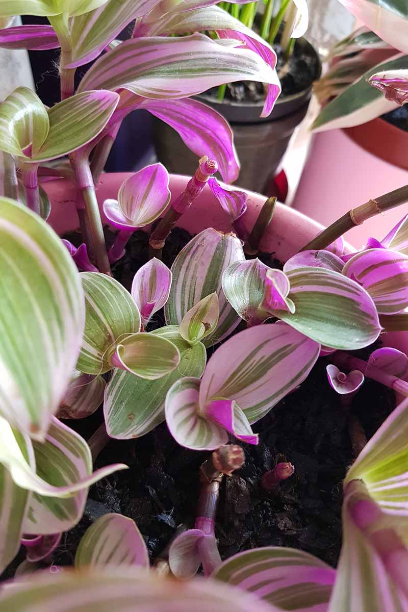 A vertical image of the purple and light green foliage of Tradescantia 'Nanouk' growing in a container under an indoor grow light.