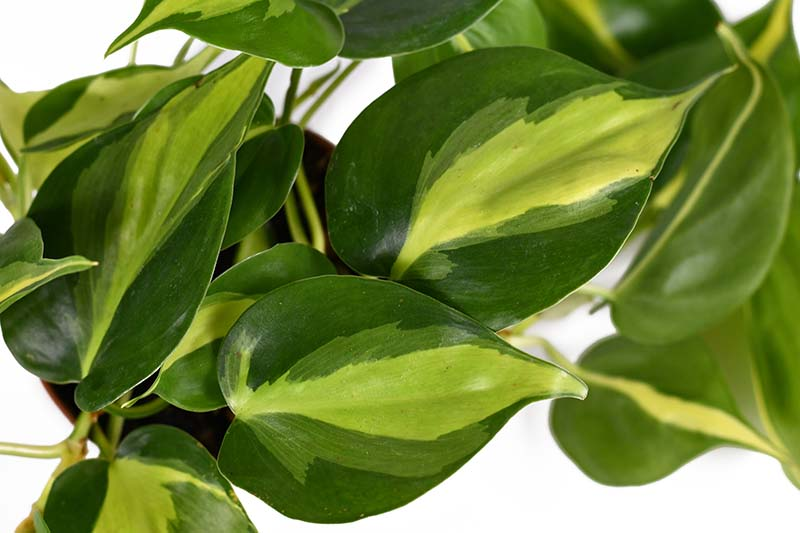 A close up horizontal image of the variegated foliage of a tropical houseplant pictured on a white background.