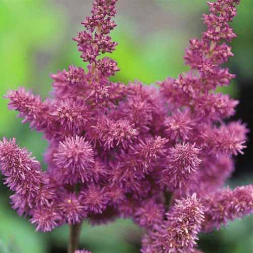 A close up square image of the bright purple flowers of A. chinensis 'Visions' pictured on a soft focus background.