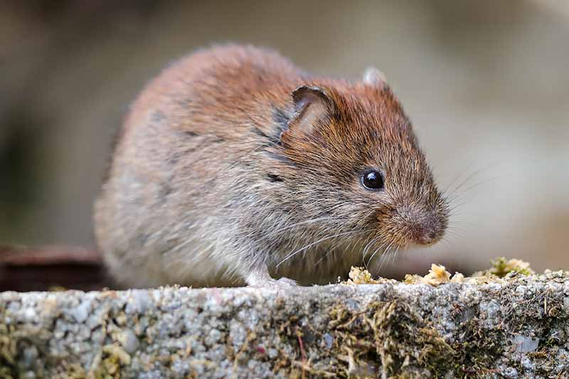 A close up horizontal image of a small vole sneaking around the garden looking for crops to eat.
