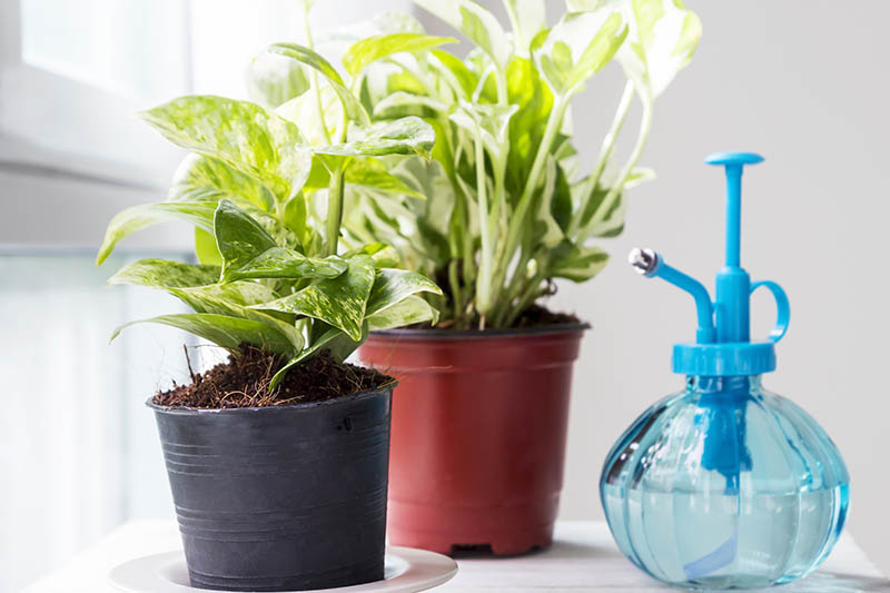 A close up horizontal image of two potted houseplants on a windowsill with a misting bottle to the left of the frame pictured in bright filtered sunshine.